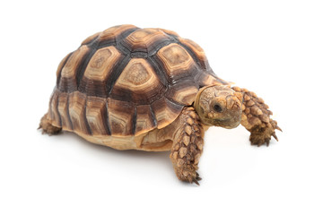 African spurred sulcata Tortoise, Geochelone sulcata,  on white