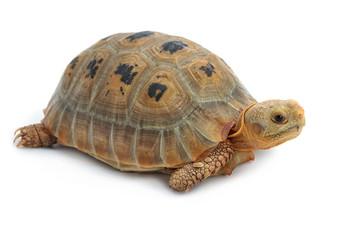 Elogated Tortoise ( Indotestudo elongata), Yellow turtle on whit