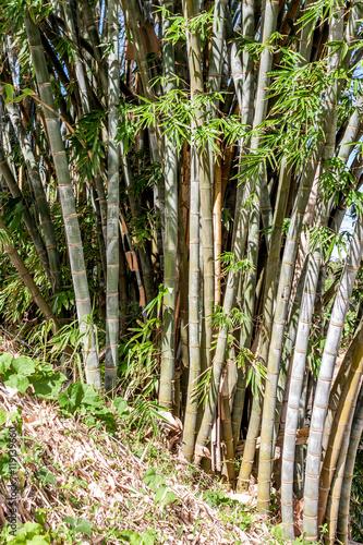 bambou gros bambou l 39 le de la r union stock photo