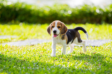 Puppy Beagle enjoy playing in the park.