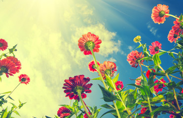 Wall Mural - Autumn flowers over blue sky. Zinnia flower