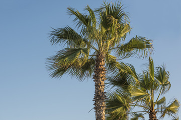 Closeup of palms against blue sky in California during sunset