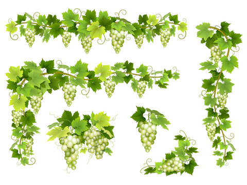 Set of bunches of white grapes. Cluster of berries, branches and leaves. Vector illustration about harvest and wine making.