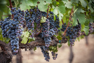 Bright purple clusters of grapes in Napa Valley California vineyard. Shallow depth of field of Napa wine grapes hanging from a vine. Saturated purple and blue hues of the grapes during veraison.