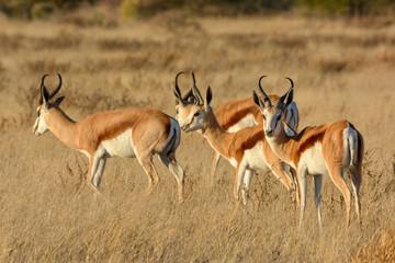 Springbok (Antidorcas marsupialis) herd. Central Kalahari Game Reserve. Botswana