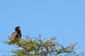 Bateleur (Terathopius ecaudatus) perched in a camel thorn tree (or giraffe thorn tree (Vachellia erioloba prev Acacia erioloba). Central Kalahari Game Reserve. Botswana