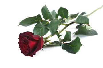 "Dark red ""Black Baccara"" rose isolated on white background"