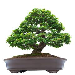 bonsai banyan tree, isolated on white background