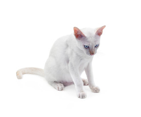 White cat with blue eyes on a white background.