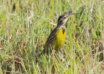 An Eastern Meadowlark (Sturnella magna) standing on grass.