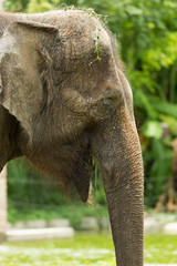 Close up asia elephant