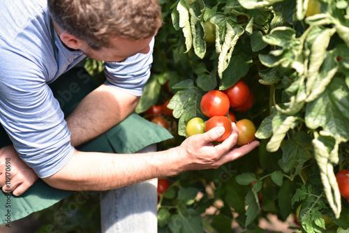 farmer im gew chshaus erntet tomaten stockfotos und. Black Bedroom Furniture Sets. Home Design Ideas
