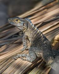 Black Iguana (Ctenosaura similis).