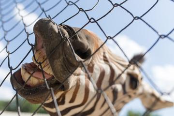 smile zebra in zoo in nature