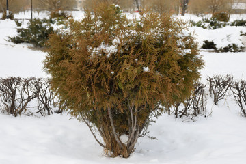 Ornamental shrub covered with snow in the gardenе