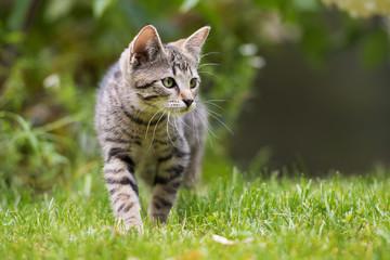 Getigertes Kätzchen Fototapete