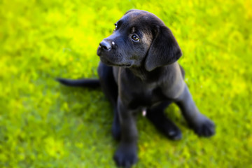 portrait of a young black labrador puppy
