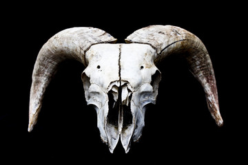 Horned Ram Sheep Skull Head On Black Background