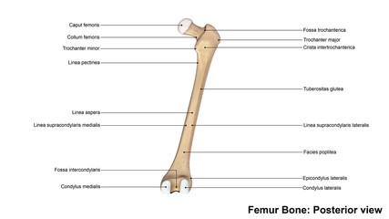 Femur bone_Posterior view.