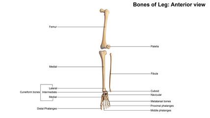 Bones of Leg_Anterior view