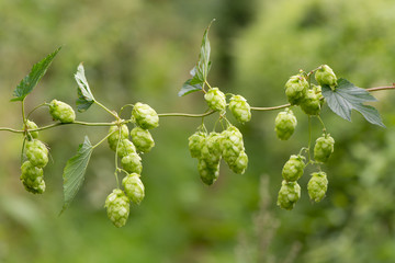 Hops (Humulus lupulus) flowers on vine. Green pendulous flowers on climbing plant in the family Cannabaceae, hanging from stem