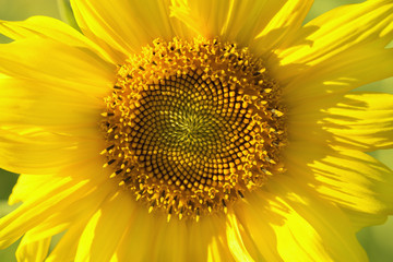 inflorescence of sunflower close-up