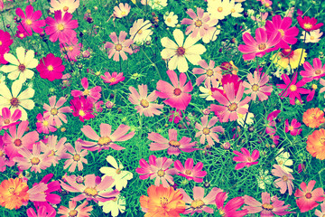 colorful bright flowers cosmos against the background of the sum