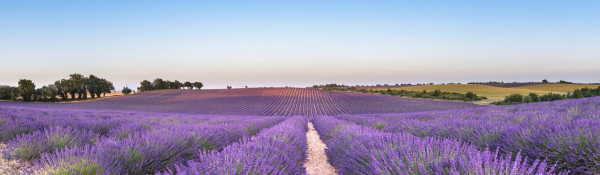 Panorama of lavender field at sunset