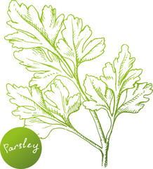 Hand drawn parsley branch