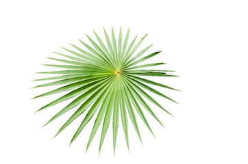 Palm leaf isolate photo