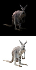 female kangaroo and joey