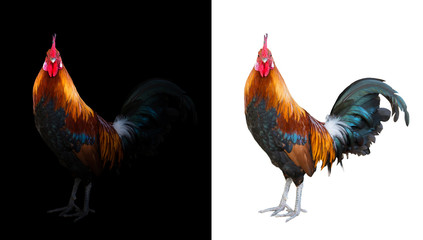 colorful rooster in the dark and white background Wall mural