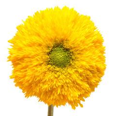 Flower. Sunflower Teddy Bear isolated on white background