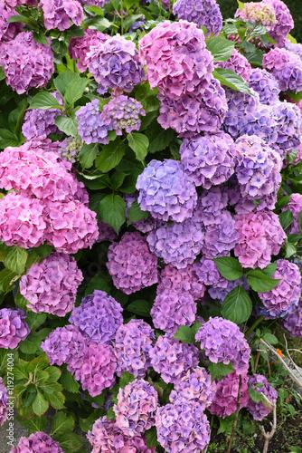 Ortensia ortensie colori colorato cespuglio aiuola aiuole - Ortensie colori ...