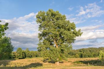 chêne à la campagne