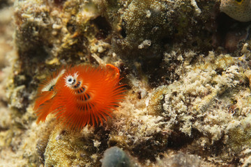underwater - orange christmas tree worm on the reef