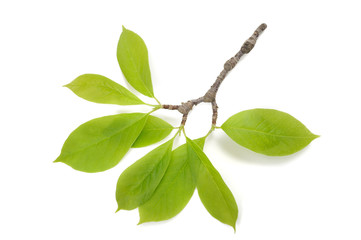 magnolia branch with leaves