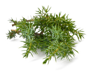Juniper sprig isolated