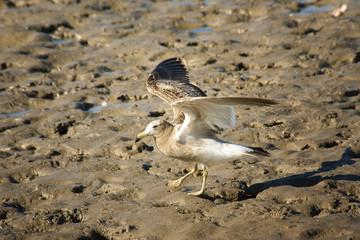 Gaviota posándose en la arena