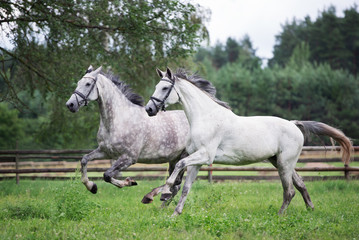 two beautiful horses running together