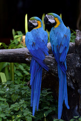 Sweet pair of Blue and Gold macaw birds perching on the branch t