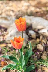 Pair of orange tulips