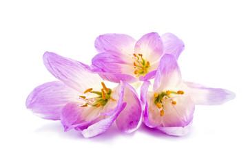 Colchicum gorgeous bouquet