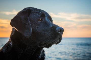 Head of the black wet dog Labrador Retriever sitting on the beach close to sea while sunset in the summer time, Poland