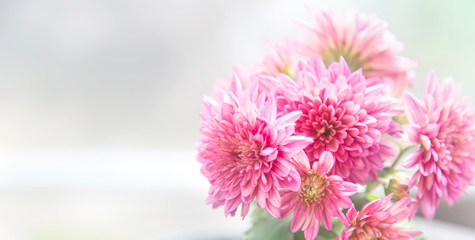 Beautiful pink chrysanthemum flower