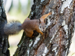 Squirrel on a birch tree trunk