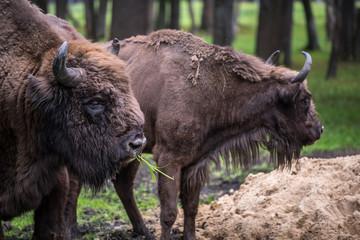 European buffalo in a park is an endangered species