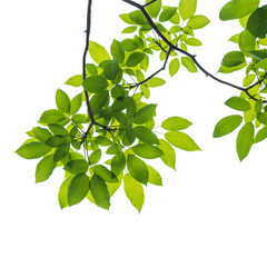 Wall Mural - Green leaves isolated on white background, This has clipping path.