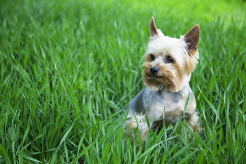 Yorkshire terrier in the green grass