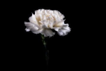 White carnation against black background, close-up